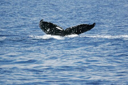 Tail of Whale  Humpback Whale diving in to the sea next to coast of Hawaii and only tail have left outside of sea  photo