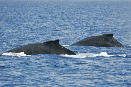 Two whales  Two Humpback whales are swimming next to coast of Hawaii island  photo