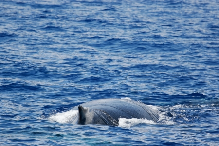 Whale  Humpback whale are swimming next to coast of Hawaii island  Back of adult Humpback whale  photo