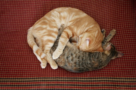 Two cats are sleeping curled up on bedding  photo