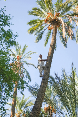 pollinate: TOZEUR,  TUNISIA - SEPTEMBER 16   A worker climbing on a palm tree at a date palm plantation in an oasis on September 16th, 2012  in Tozeur, Tunisia  Workers climb a tree to pollinate it manually or to collect the fruit dates