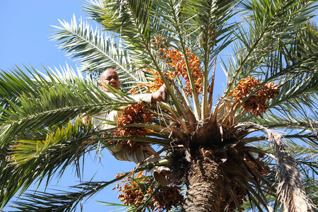 pollinate: TOZEUR,  TUNISIA - SEPTEMBER 16   A worker climbing on a palm tree at a date palm plantation in an oasis on September 16th, 2012  in Tozeur, Tunisia  Workers climb a tree to pollinate it manually or collect the fruit dates  Editorial