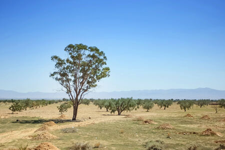 Oliv trees in Sahara desert in Tunisia Stock Photo - 29860155
