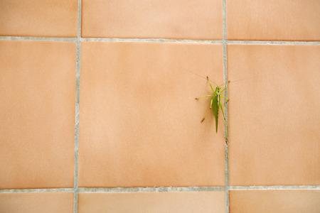 A grasshopper on a tiled bathroom wall. photo