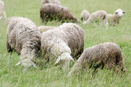 A close up of a sheep flock grazing on a meadow. photo