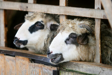 locked up: A close up of sheep locked up in a wooden stall.