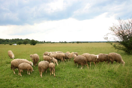 A flock of sheep grazing on a meadow. photo