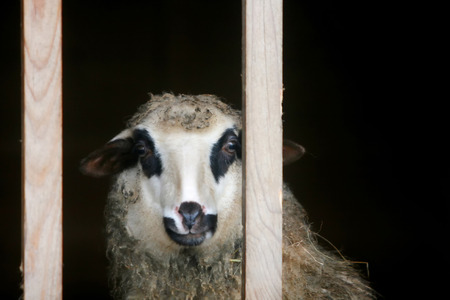 locked up: A close up of a sheep locked up in a wooden stall. Stock Photo
