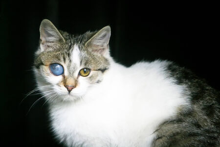 A close up of a grey and white cat with a deformed eye. photo