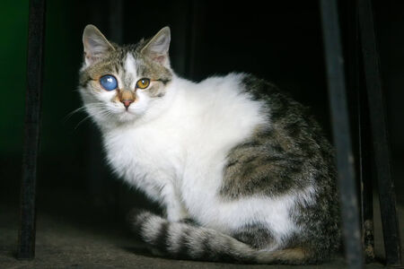 A close up of a grey and white cat with a deformed eye sitting under the table. photo