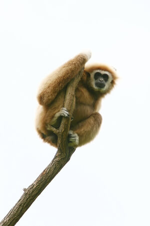 gibbon: A low angle view of a gibbon sitting on a top of tree branch. Stock Photo
