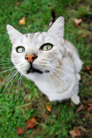 looking upwards: A close up of a grey cat sitting on grass and looking upwards.
