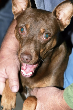 half breed: A close up of a brown half breed dog with open mouth held by the owner.
