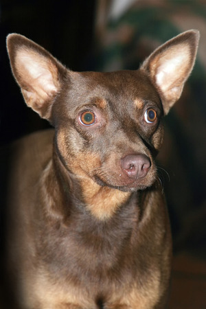 half breed: A portrait of a half  breed dog standing and looking away.