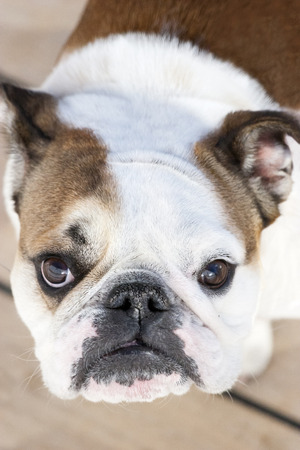 A high angle view close up of an english bulldog standing on wooden floor and looking at camera. photo