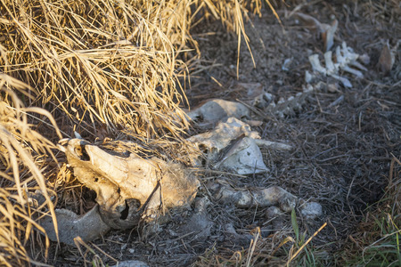 underbrush: A close up of a cow skeleton in the underbrush. Stock Photo