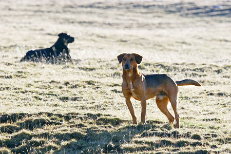 half breed: A half breed dog standing on the meadow with another dog lying in the background .