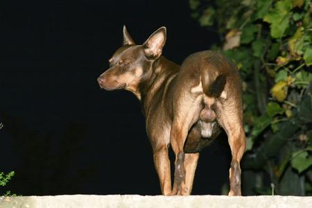 genitali: Una vista posteriore di un cane mezzo razza marrone in piedi sulla strada.