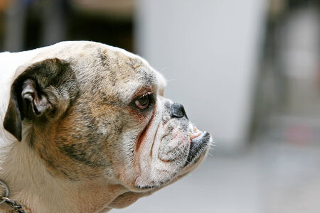 canines: A close up of an old bulldog with visible canines.