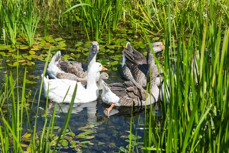 marshy: A group of geese swimming in a marshy pond.