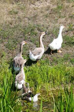 marshy: A group of geese walking out of a marshy pond in a line.