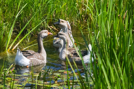 marshy: A group of ducks swimming in a marshy pond.