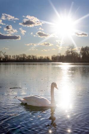 Un cigno nuoto in un mezzo lago ghiacciato.