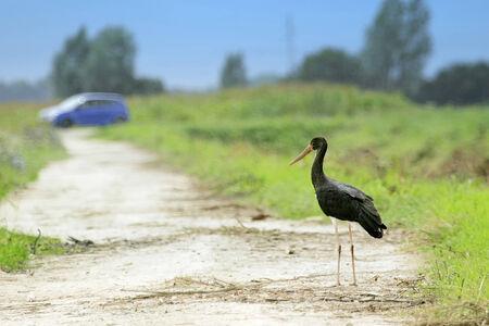 black stork: Una cig�e�a negro de pie en un camino en el campo, mientras que el coche est� pasando en el fondo.