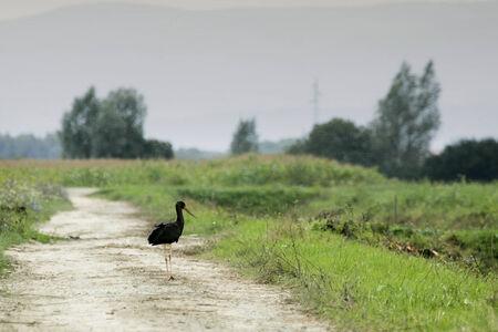 black stork: Una cig�e�a negro de pie en un camino en el campo.