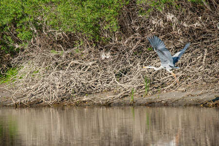 moving images: A grey heron takes off from the shore of the river.