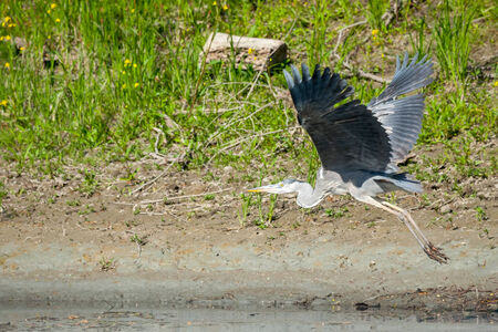 legs spread: A grey heron flying in the nature above water.