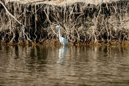 A small white heron standing in the water next to shoreline. photo