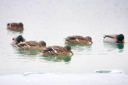 Uno stormo di anatre che nuotano nel lago.