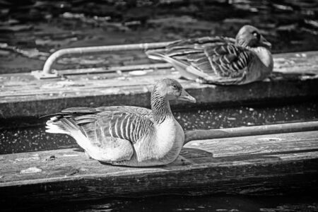 two ducks: Two ducks sitting on wooden boards that are floating in shallow water.