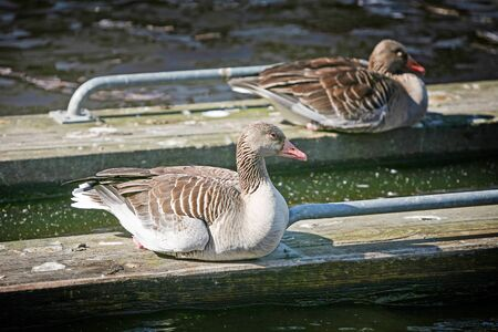 Two ducks sitting on wooden boards that are floating in shallow water. photo