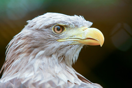 yellow tailed: A close up of a white tailed eagle. Stock Photo