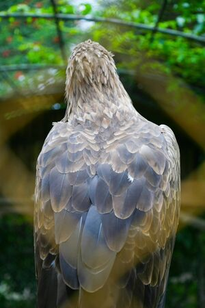 white tailed: A rear view of a white tailed eagle in a zoo.