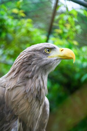 tailed: A profile of a white tailed eagle in a zoo.