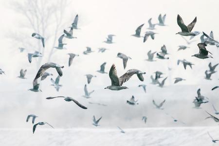 Un folto gruppo di gabbiani che volano vicino alla neve copriva litorale del fiume Sava a Zagabria, Croazia.