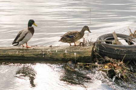 two ducks: Two ducks walking on a tree trunk next to an old thrown tire in a river.