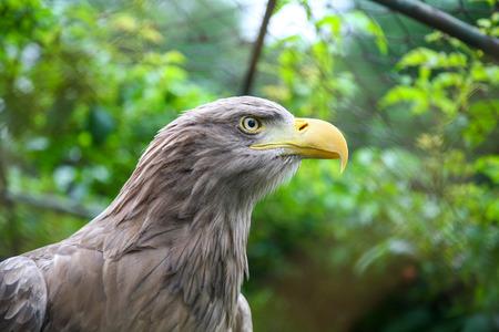 white tailed eagle: A profile of a white tailed eagle in a zoo.