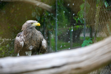 white tailed eagle: A profile of a white tailed eagle standing on a branch in the zoo. Stock Photo