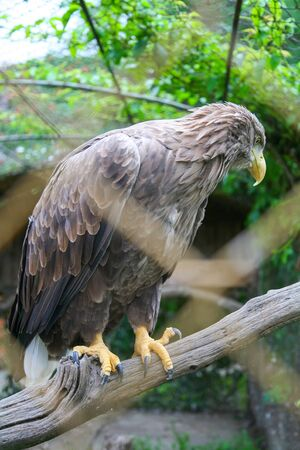 yellow tailed: A profile of a white tailed eagle standing on a branch in the zoo. Stock Photo