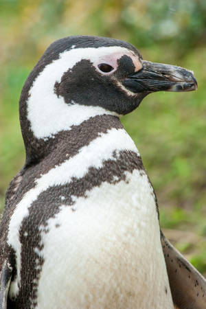 A side view of a magellanic penguin standing in nature in Punta Arenas, Chile. photo