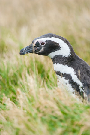 A side view of a magellanic penguin standing in high grass on a meadow in Punta Arenas, Chile. photo