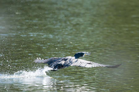 taking off: A side view of a cormorant taking off from the water surface of a lake. Stock Photo
