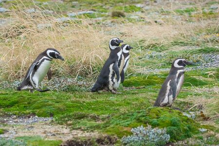 punta arenas: A side view of four magellanic penguin walking in a meadow in Punta Arenas, Chile.