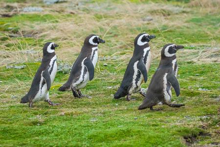 Una vista laterale di quattro pinguino di Magellano camminare in un prato a Punta Arenas, Cile.