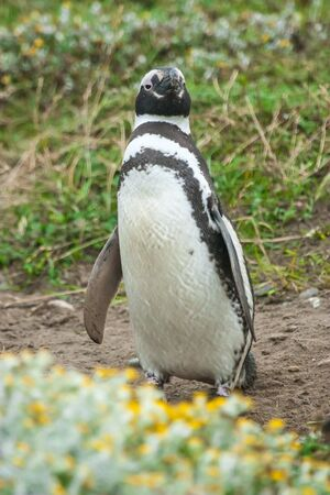 punta arenas: A front view of a magellanic penguin standing in a meadow in Punta Arenas, Chile. Stock Photo