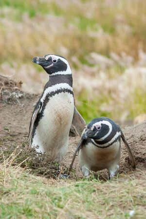 punta arenas: A front view of two magellanic penguins standing on the ground with one of them crouching in Punta Arenas, Chile. Stock Photo